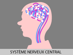 syst-nerveux-central